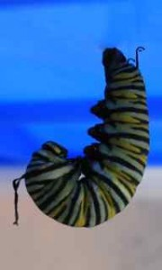 Monarch Butterfly J forming Chrysalis